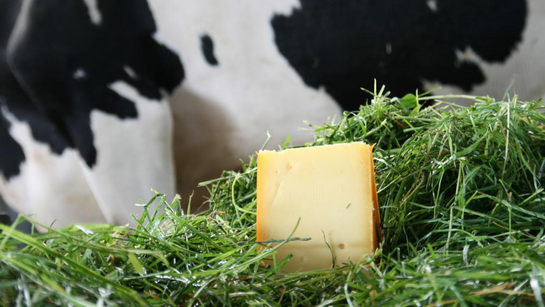 Van koe naar kaas